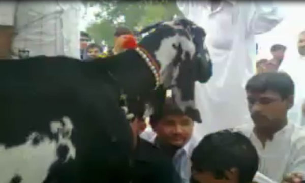 Amazing Goat in Pakistan Gives 40 Litter Milk